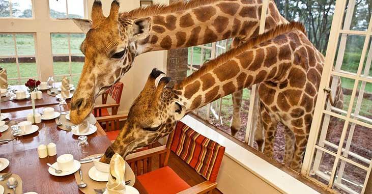 Giraffe Manor - Giraffes